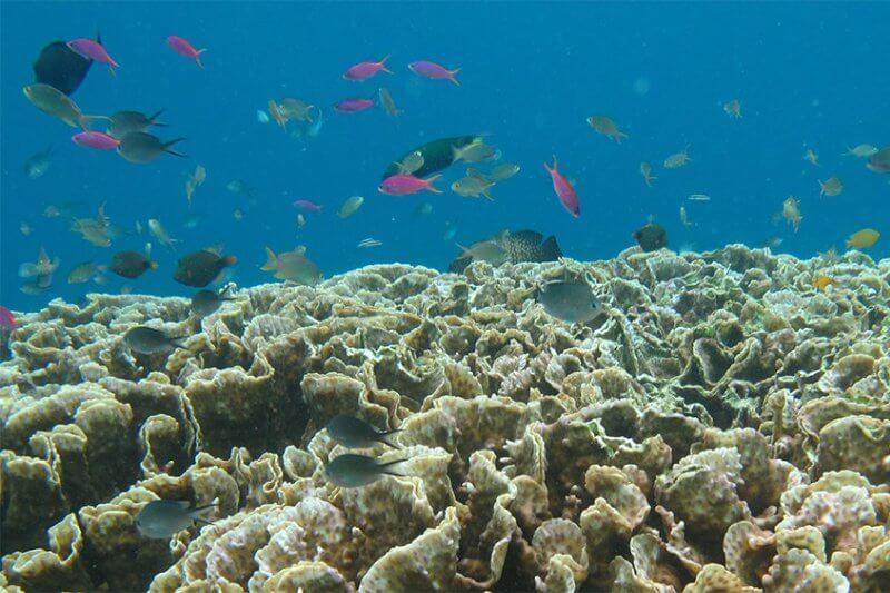 """Frecuentes olas de calor marinas pueden destruir los corales a través de un proceso llamado """"blanqueamiento""""."""