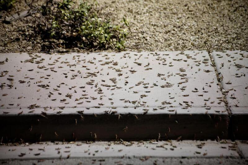 Invasión de saltamontes en Las Vegas y otra de langostas en Yemen podrían causar daños en cultivos y pánico en ciudades.
