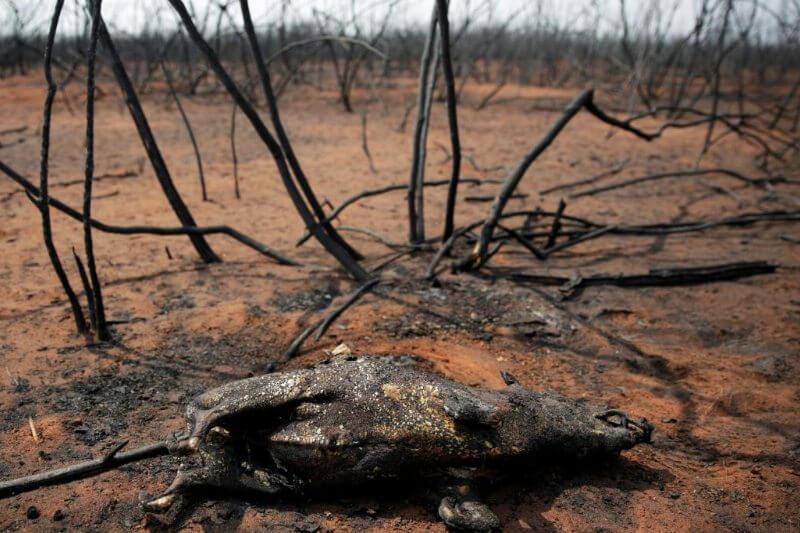 El fuego continúa invadiendo la Chiquitania y el Chaco, donde la fauna y flora que ha logrado sobrevivir sufre un efecto total de desastre.