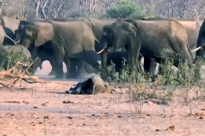 Al menos 55 elefantes han muerto de hambre en los últimos dos meses en el parque nacional más grande de Zimbabue.