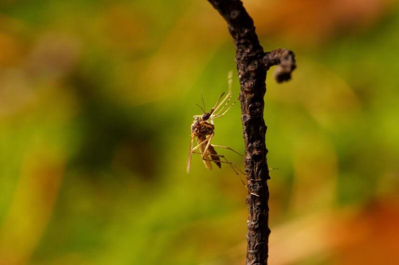 Los veranos inusualmente cálidos significan que los mosquitos portadores de una infección mortal están moviéndose más al norte.