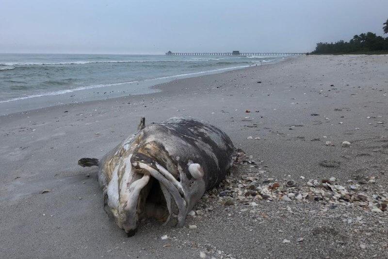 Desde el 2017, la marea lleva a las playas de Naples peces muertos, tortugas marinas e incluso delfines muertos por un brote de algas tóxicas.