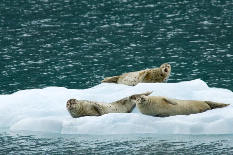 El derretimiento del hielo marino del Ártico ha abierto nuevas vías para que un peligroso virus sea letal para los mamíferos del Océano Pacífico norte.