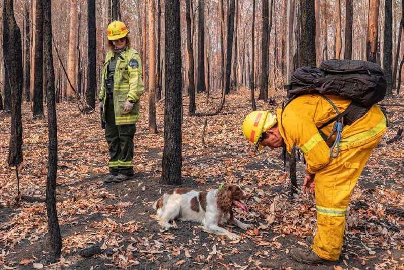 Estos dos canes rescatistas del Fondo Internacional para el Bienestar Animal han logrado rescatar a decenas de animales de los árboles de eucalipto incinerados.