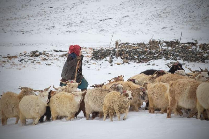 A pesar de las nevadas prematuras, los inviernos se están calentando, lo que reduce la calidad y cantidad de la valiosa lana de pashmina.