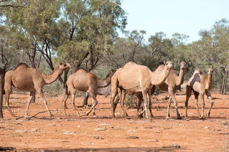 Los pueblos aborígenes de la reserva explican que los camellos acuden a las fuentes de agua debido a la sequía del lugar y obstruyen el acceso a los locales.