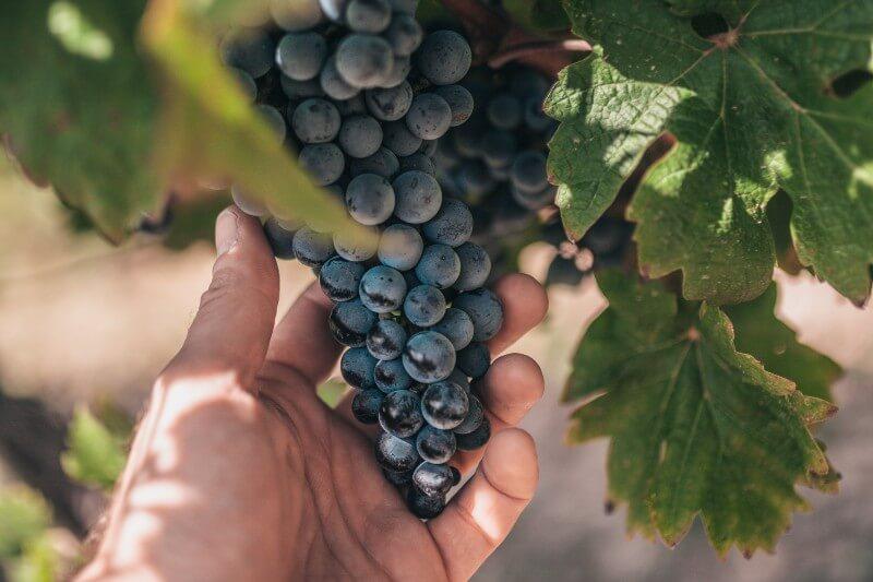 Más de la mitad de las áreas aptas para el cultivo de uvas para la producción del vino en todo el mundo podrían volverse inadecuadas para este fin en 80 años.