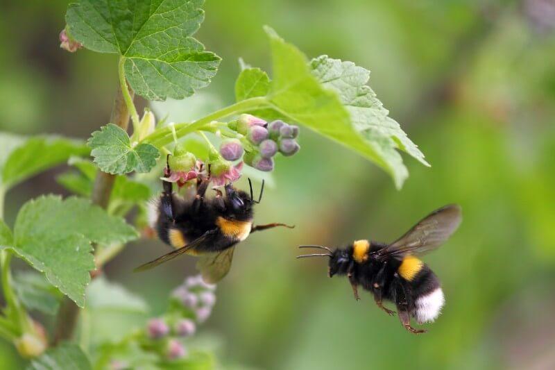 Los científicos encontraron que los abejorros desaparecen en las zonas donde las temperaturas se han incrementado.