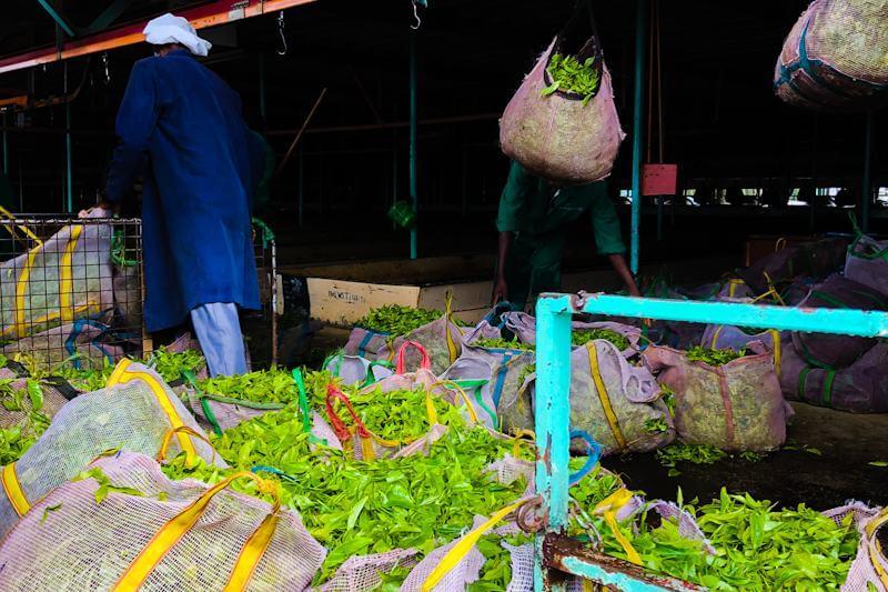 La producción de té es una industria clave en Kenia, que ofrece empleo a millones de personas