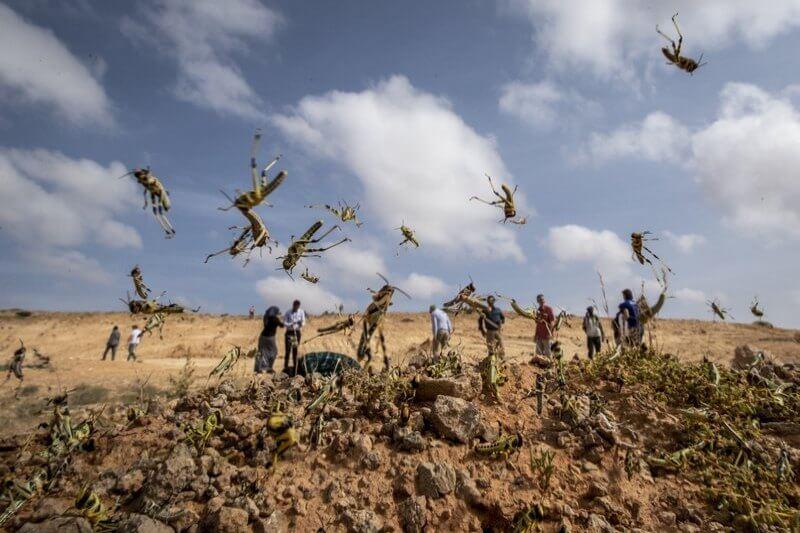 Estos enjambres destruyen los cultivos y pastos de forma rápida y completa, afectando a países como Etiopía, Kenia, Somalia y Uganda.