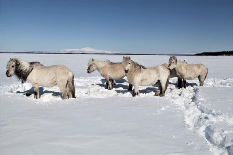 CAballos podrían salvar el permafrost