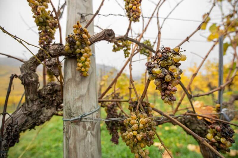 Los veranos más calurosos y secos hacen que la uva estrella de la región francesa, Ugni blanc, madure demasiado rápido y pierda acidez.
