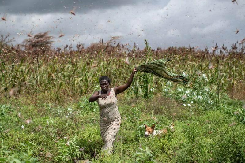 Enjambres gigantescos de langostas destruyen cultivos y amenazan países completos en el golfo Arábigo y África, una situación que ha empeorado año tras año.