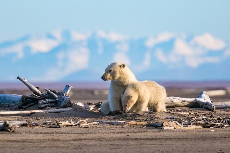 La actividad humana y el calentamiento global han alterado su hábitat.