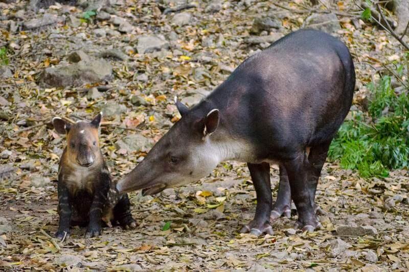 Hace unos días se dio la buena noticia del nacimiento de un ejemplar de tapir en Nicaragua.