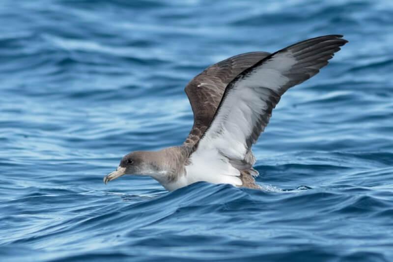 La pardela balear podría desaparecer en 60 años