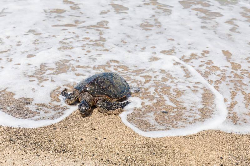 Tortugas marinas anidan en playas de Florida por contingencia