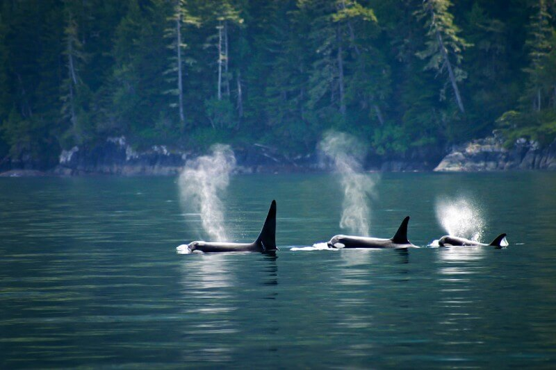 Ballenas se benefician de la cuarentena