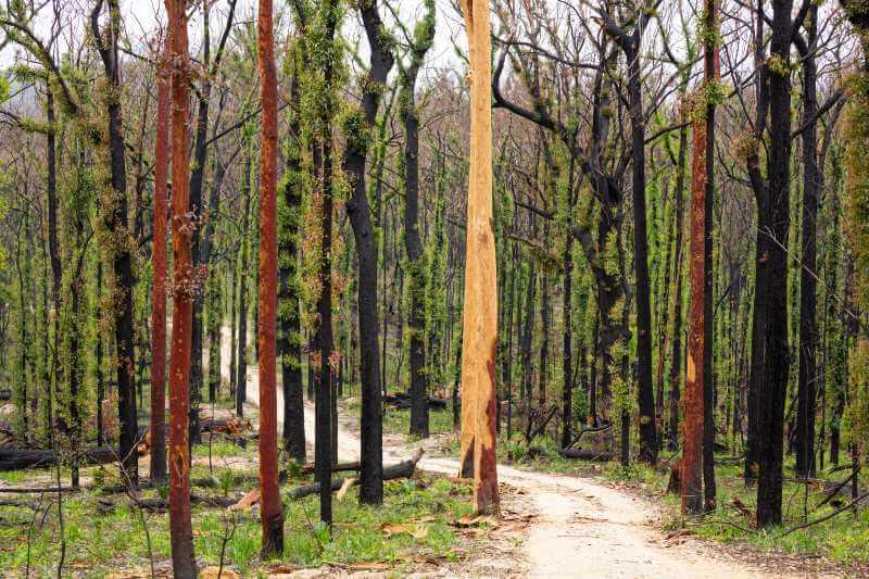 Bosques de Australia se recuperan después de Incendios