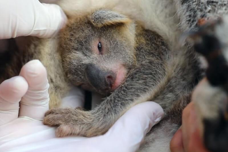 Parque en Australia recibe su primera cría de koala después de devastadores incendios