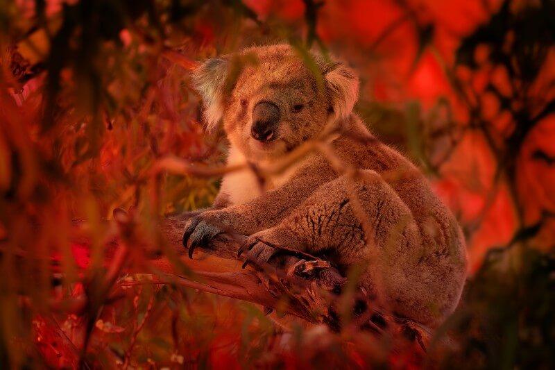 Koalas podrían extinguirse para 2050 en Australia
