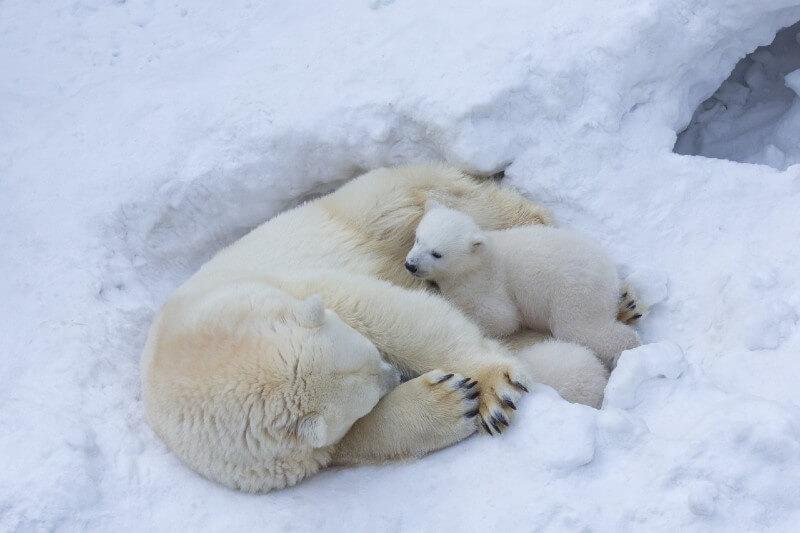 Mamás oso se niegan a dejar sus guaridas incluso frente amenaza petrolera