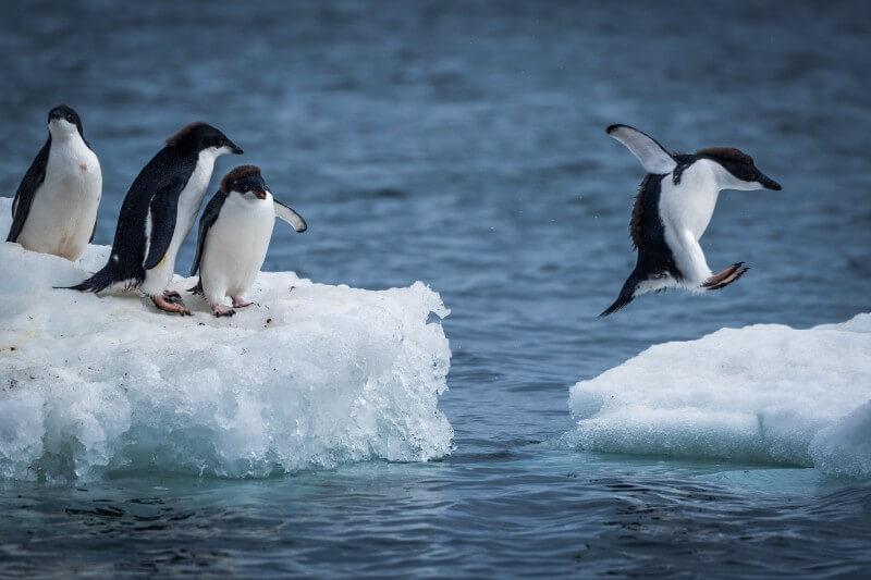 Pinguinos Adelia se benefician del deshielo