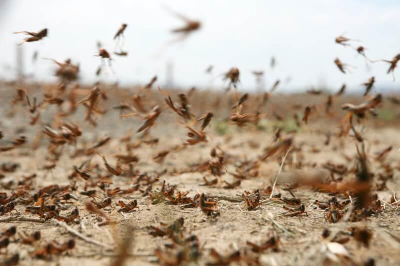 Plaga de langostas amenaza Centroamérica