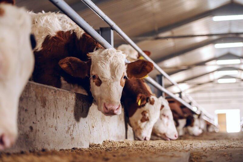 Reducción de lagos y ríos a causa de las vacas