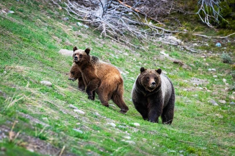 Se prohíbe la caza de osos en Yellowstone