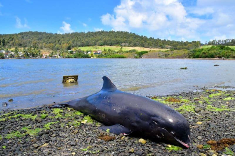 Encuentran del delfines muertos tras derrame de petróleo en isla Mauricio