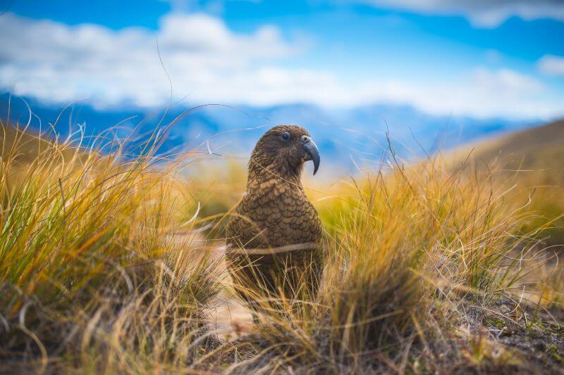 Aves nativas de Nueva Zelanda en peligro de extinción