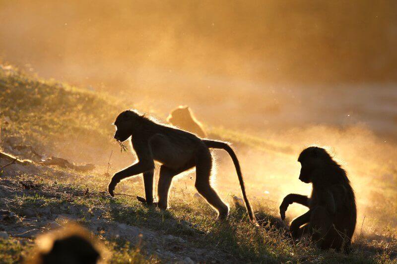 Encuentran pesticidas tóxicos en excremento de monos