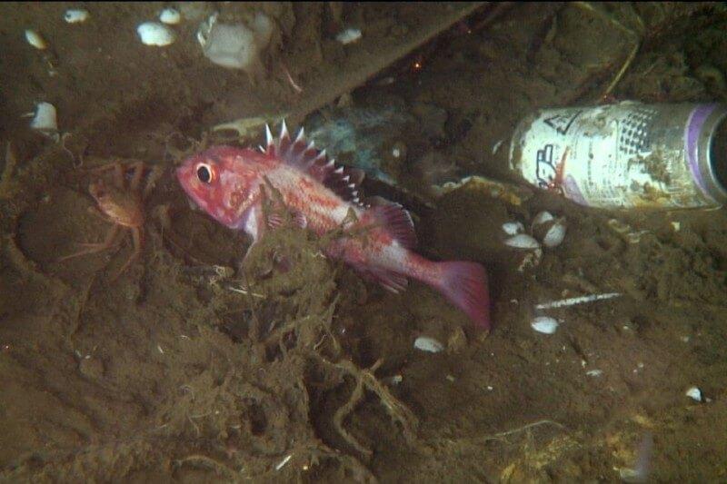 Plástico altera la fisionomía de los peces