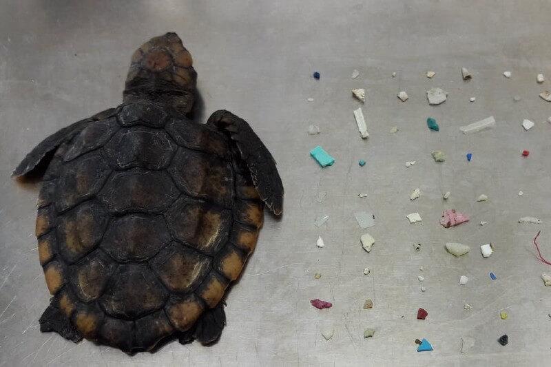 Tortugas marinas recien nacidas con microplásticos