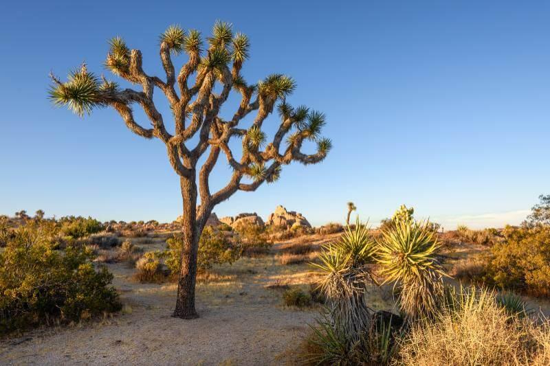 Árbol de Joshua se convierte en la primera planta protegida