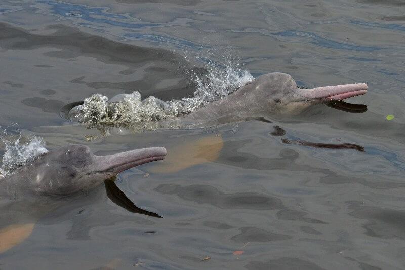 Plan para protección de delfines de Río en Sudamérica