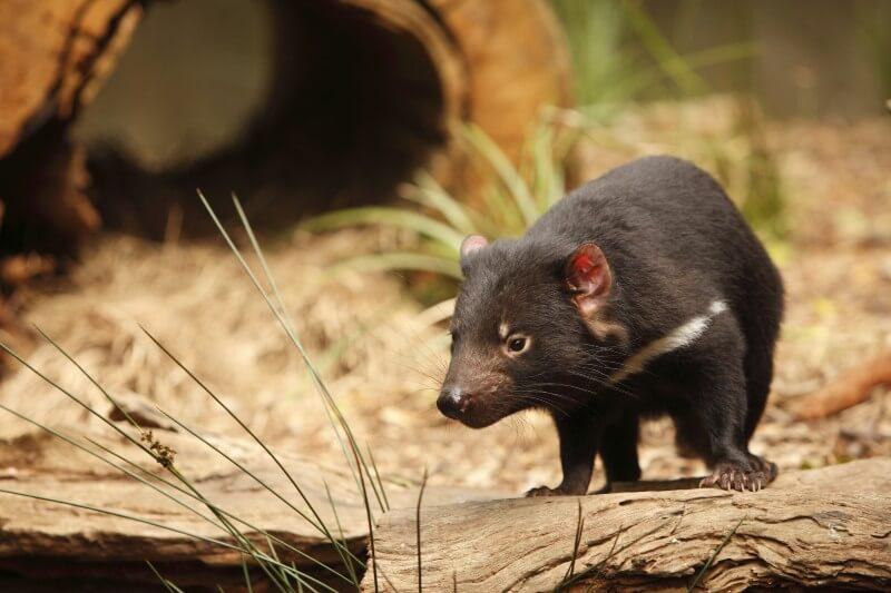 El demonio de Tasmania regresa a Australia