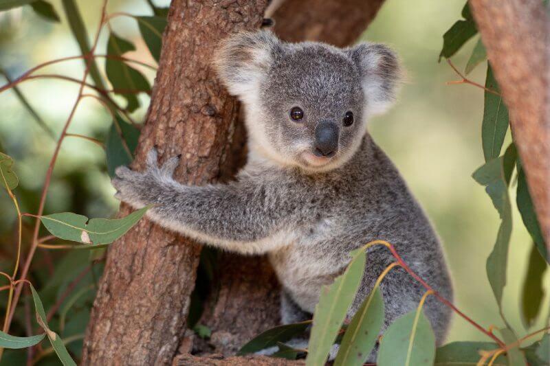Koalas en peligro de extinción