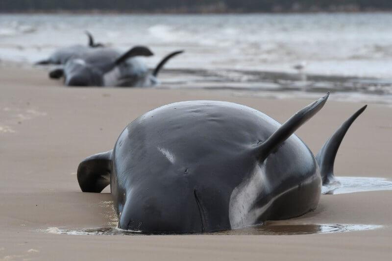 Varamiento masivo de ballenas en Australia