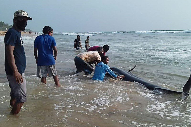 Rescatan 100 ballenas varadas en costas de Sri Lanka