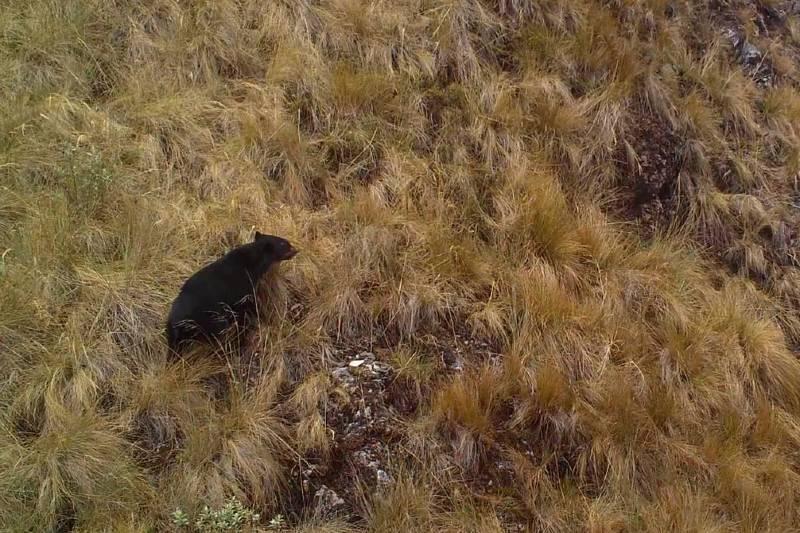 Hallan osos andinos en peligro de extinción por zonas ganaderas de Ecuador