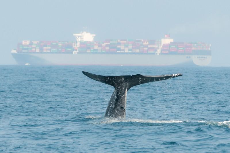 Barcos podrían colisionar con ballenas en peligro de extinción