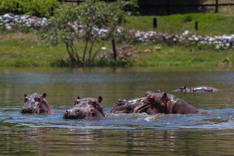Científicos proponen sacrificar hipopótamos en Colombia para frenar su propagación