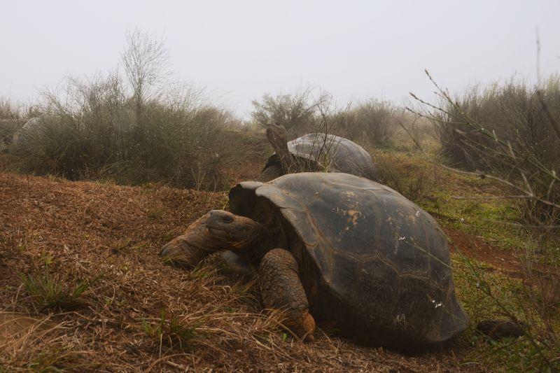 Tortugas gigantes de Galápagos serán censadas para su conservación