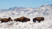México: autoridades ambientales reintroducen al bisonte americano 100 años después de su desaparición