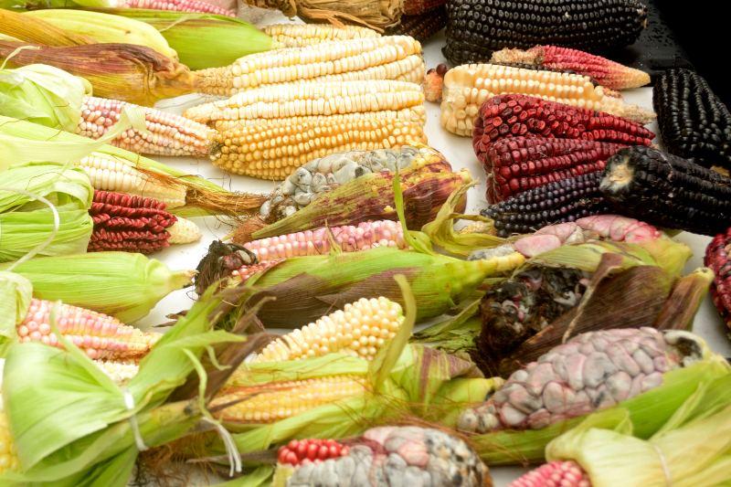 Gobierno de México prohíbe el maíz transgénico
