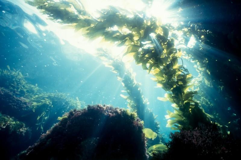 Algas marinas expulsan microplásticos del mar, según estudio