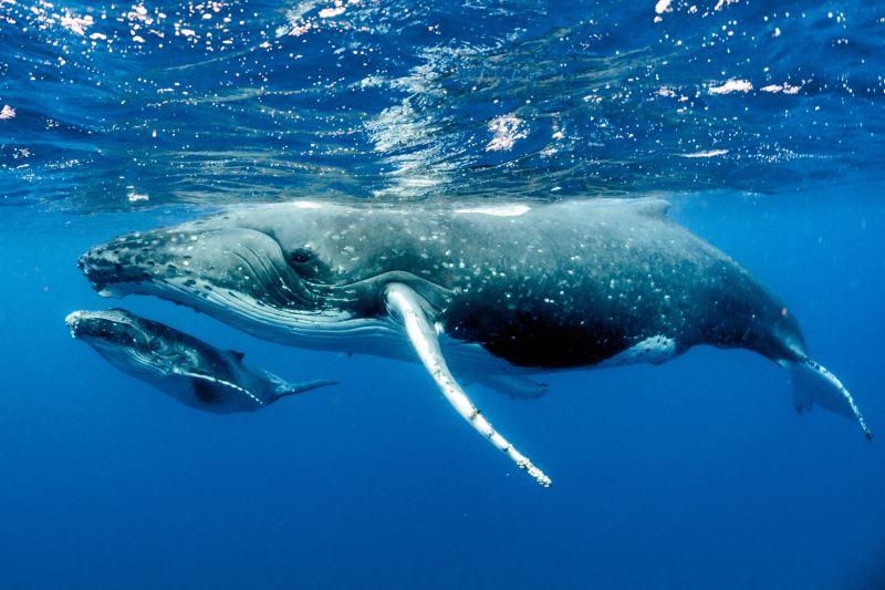 Ballenas jorobadas están dejando de reproducirse por falta de alimentos