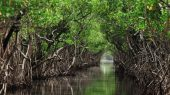 Qué son los manglares y por qué son importantes
